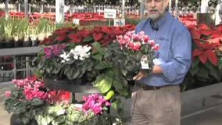 Caring for Cyclamen