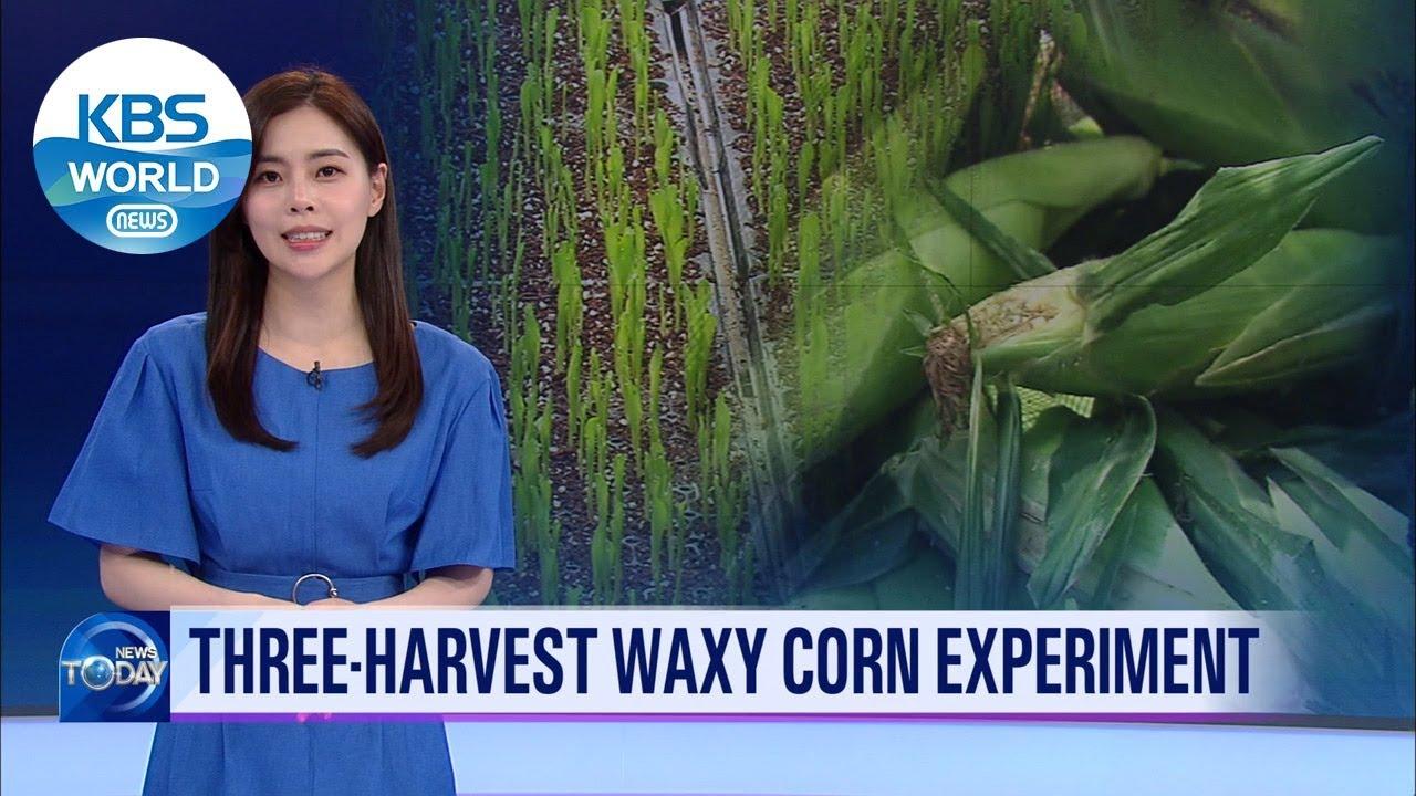Three・Harvest waxy corn experiment (News Today) l KBS WORLD TV 210617