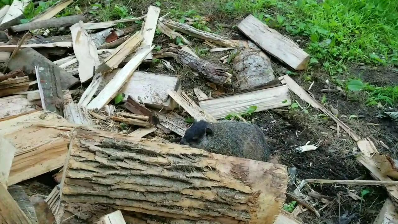 Groundhog (Woodchuck) Chucking Wood - YouTube