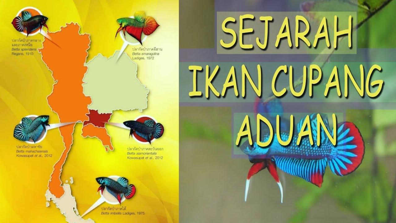 Sejarah Ikan CUPANG ADUAN - Asal usul dan Faktanya ada ...