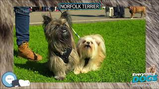 Norfolk Terrier  Everything Dogs