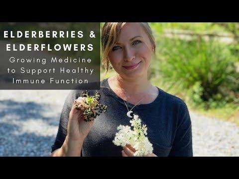 grow-your-own-medicine:-elderberries-&-elderflowers