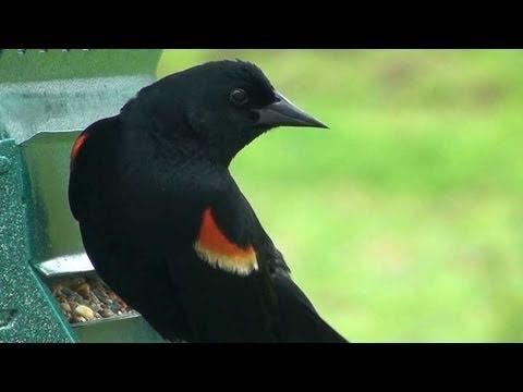 Red-winged Blackbird - HD Mini-documentary