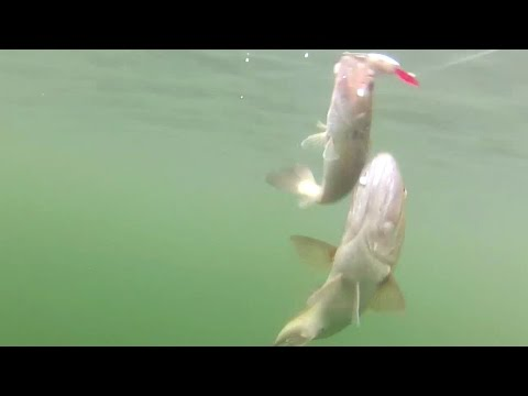 Largemouth Bass Kleptoparasitism