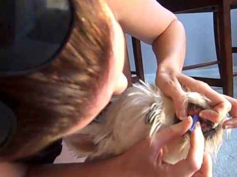Dog Diabetes- Home testing, upper lip