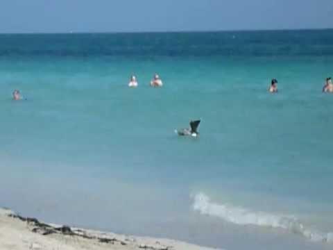 Bird catching fishes in the ocean / Un oiseau plonge dans la mer pour attraper des poissons