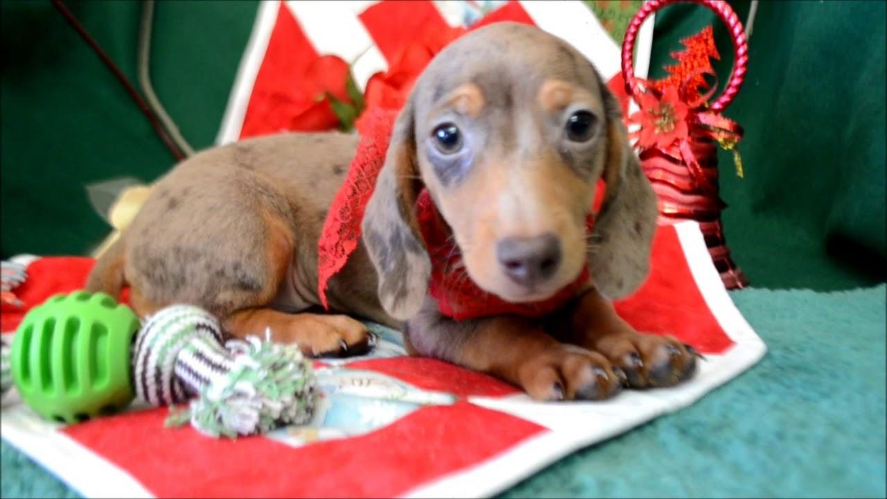 Ace AKC Chocolate Dapple Male SH Miniature Dachshund Puppy for sale