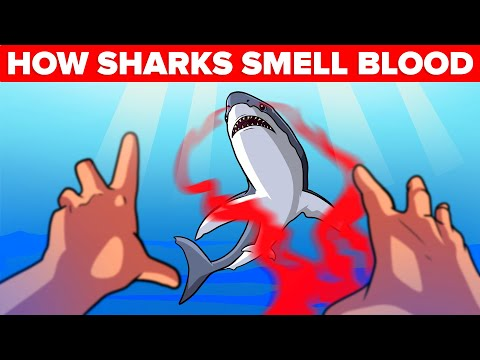 How Sharks Actually Smell Blood