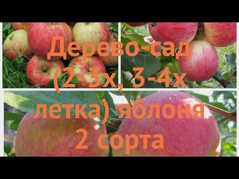 Яблоня обыкновенная Конфетное - Орлинка 🌿 обзор: как сажать, саженцы яблони Конфетное - Орлинка