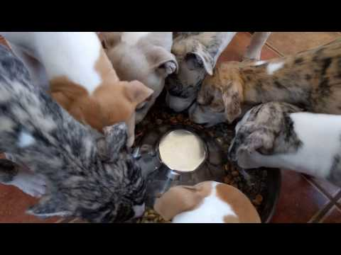 Whippet puppies eating