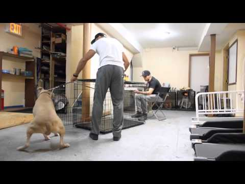 how to get a human/dog aggressive pitbull in and out of crate