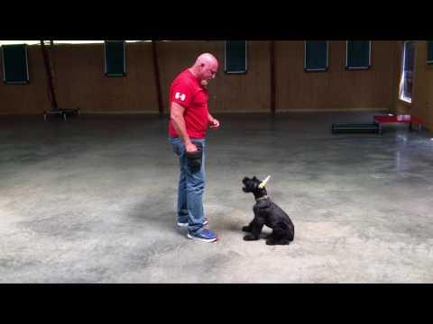 "Giant Schnauzer Puppy ""Kelso"" 15 Wks Early Obedience Training & Development W/PDS"