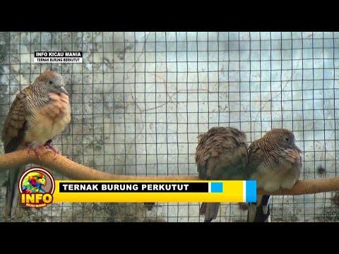 Ternak burung Perkutut  1 -3