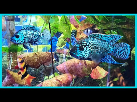 Amazing Display Tank! -Electric Blue Jack Dempseys, & Aquascaped!