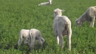 Watching Cute Baby Lambs near Quartszite AZ at The RTR!