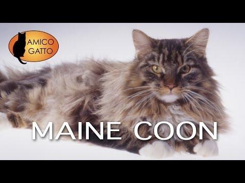 MAINE COON trailer documentario