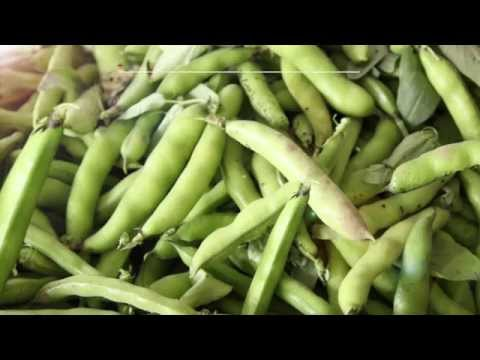 Fava beans - A new dual purpose crop for New England