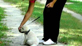 How To Leash Train A Puppy Labrador Puppy