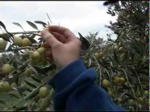Mouche de l 39 olive youtube - Insecticide mouche de l olive ...