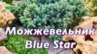 видео Можжевельники блю (голубые): описание сортов и их особенности, рекомендации по уходу, посадке и пересадке.