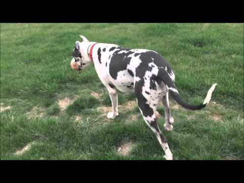 Great Dane Dozer's Board & Train Video: Cincinnati Dog Trainers Off Leash K9