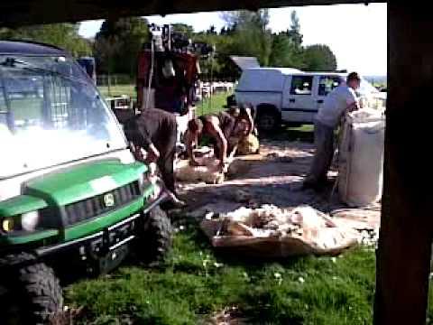 VID 20120609 00001 3GP Shearing our Sheep 09 07