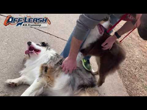 1 Year Old Australian Shepherd | Best Aussie Training Oklahoma | Board & Train