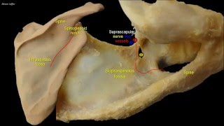 Osteology of the scapula