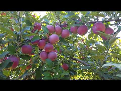 Apple Picking at Demarest Farm, NJ. Sep 16, 2018