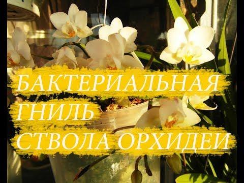 Так выглядит бактериальная гниль ствола орхидеи. Что делать.