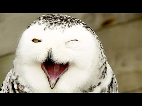 Animal Planet - Magic of Snowy Owl - Best Documentary