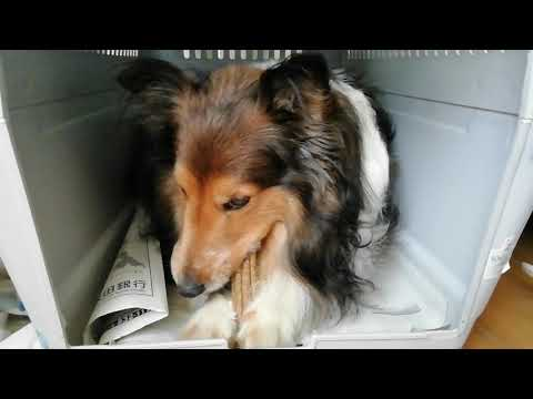 My friend shetland sheepdog who tastes dantalife