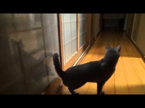 Cat intelligence knock a door - Gato llama a la puerta.