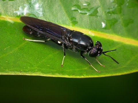 Black Soldier Fly Production Part 1 Introduction