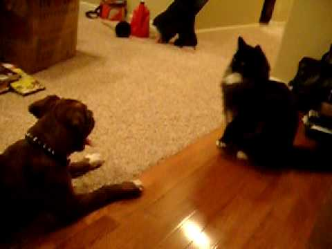 Boxer dog and Maine Coon cat meet for first time pt 1