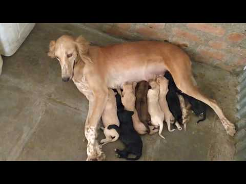ARM Dog Kennel : Pashmi Puppies at day 9