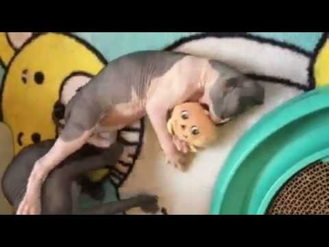 Sphynx & Bambino Kittens Playing