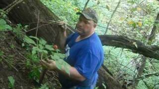 Harvest and Replanting of Wild Ginseng