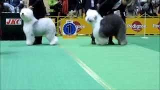 FCIジャパンインターナショナルドッグショー2015、オールドイングリッシ...