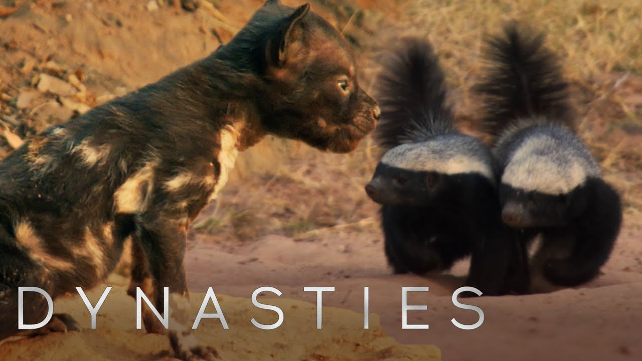 painted wolf fights off honey badgers to protect pups | dynasties | bbc  earth