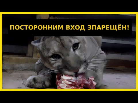 Как живут крупные кошки в Гродненском зоопарке