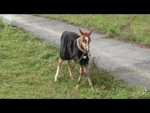Ветеринары спасают породистого жеребёнка от редкой болезни