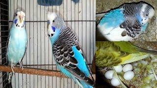 Budgies Parrot Cage Ki Progress - New Pair Purchase