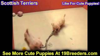 Scottish Terrier, Puppies, For, Sale, In, Boise City, Idaho, Id, Rexburg, Post Falls, Lewiston, Twin