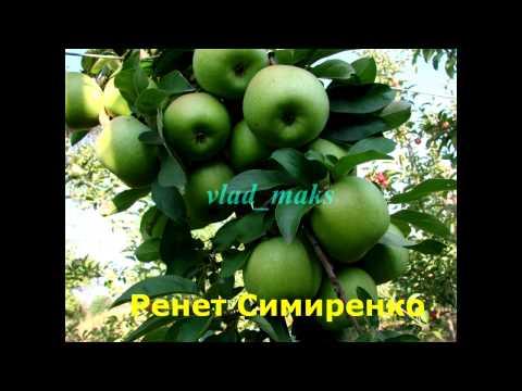 Лучшие сорта яблонь для Подмосковья особенности выращивания