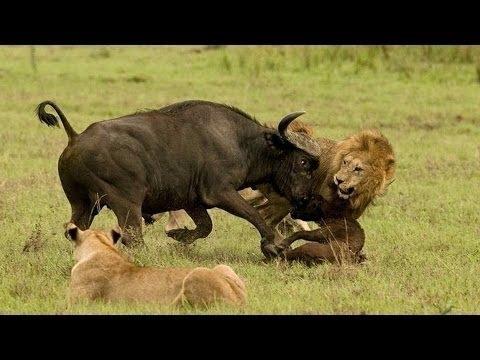 Documentary lion: enraged