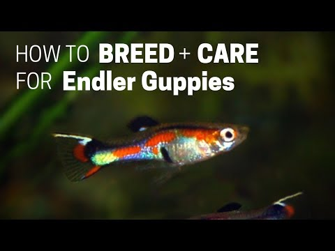 How To Care For Endler's Livebearer Guppies