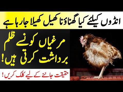 How Eggs Are Produced In Pakistan | Reality Of Poultry Forms In Pakistan | Islamic Solution