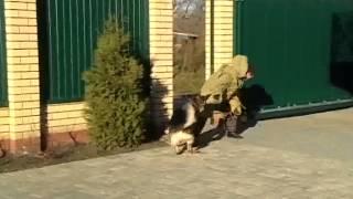 Дрессировка собак на нарукав http://www.kinologiyasaratov.ru