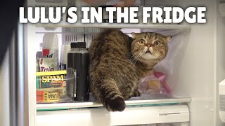 LuLu Knows How to Open the Fridge!ㅣKittisaurus